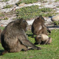 Baboons in the hills
