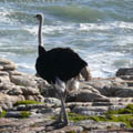 Ostrich looking out to sea